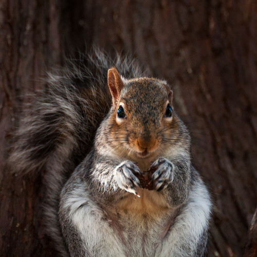 One eared Squirrel